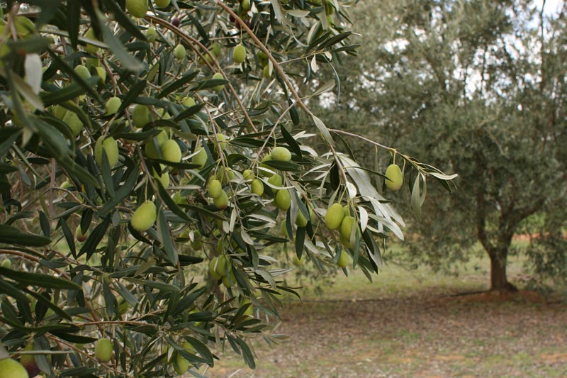 Table-olives